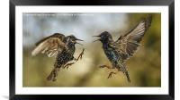 Mid air starling squabble, Framed Mounted Print