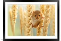 Harvest mouse in wheat stalks, Framed Mounted Print