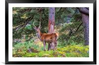 Highland Stag , Framed Mounted Print