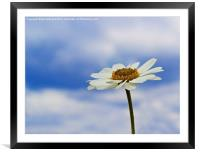 Daisy Daisy, Framed Mounted Print