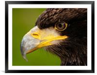 Intense gaze of Golden Eagle, Framed Mounted Print