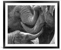 Elephants Tender Touch, Framed Mounted Print