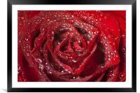 Valentine Passion Rose, Framed Mounted Print