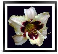 Distinct 2 Colour Lily, Framed Mounted Print
