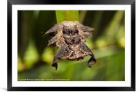 Hag Moth Caterpillar, Framed Mounted Print