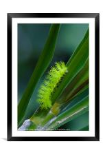 IO moth caterpillar, Framed Mounted Print