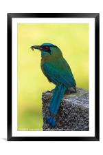 Blue crowned Motmot with a caterpillar, Framed Mounted Print