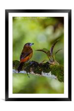 female cherries tanager, Framed Mounted Print
