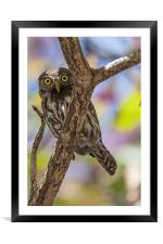 costa rican pygmy owl, Framed Mounted Print