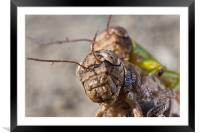 crickets mating, Framed Mounted Print