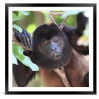 Congo monkey resting in tree, Framed Mounted Print
