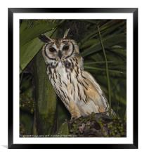 Striped owl sheltering in tree, Framed Mounted Print