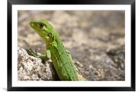 small green lizard, Chameleon, Framed Mounted Print