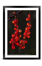 Natures lanterns, Framed Mounted Print