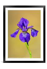 Single Iris flower, Framed Mounted Print
