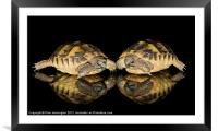 Two baby tortoises, Framed Mounted Print