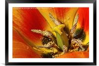 Tulip macro with orton effect, Framed Mounted Print