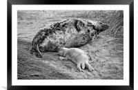 Seal pup Feeding, Framed Mounted Print