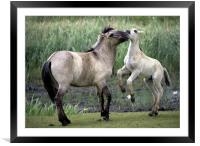 Mother And Foal. Polish Konik Horses, Framed Mounted Print