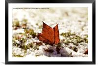 Last Autumn Leaf Standing in First Snow of Winter , Framed Mounted Print