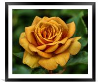 Golden Rose, Framed Mounted Print
