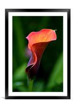 Calla Lily ~ Zantedeschia, Framed Mounted Print