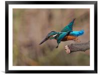 Kingfisher, Framed Mounted Print