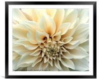 Beautiful Cream Dahlia Flower, Framed Mounted Print