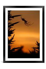 Sunset Spider, Framed Mounted Print