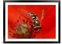 Hoverfly On A Poppy, Framed Mounted Print