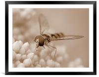 Hoverfly In Sepia, Framed Mounted Print