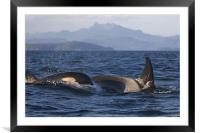 Orca, Framed Mounted Print