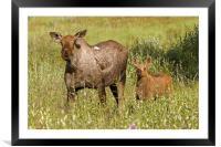 Moose, Framed Mounted Print