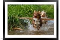 Australian shepherds in the creek, Framed Mounted Print