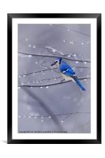 BLUE JAY IN THE RAIN, Framed Mounted Print