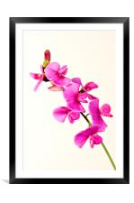 Wild Sweet Pea Flower, Framed Mounted Print