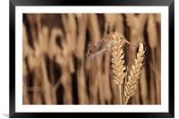 Harvest Mouse, Framed Mounted Print