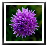 Chive Flower Macro, Framed Mounted Print