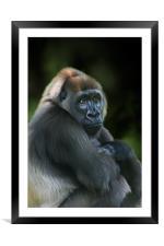 Nyango Cross River Gorilla, Framed Mounted Print