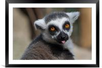 Ring Tailed Lemur, Framed Mounted Print