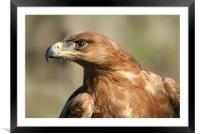 Tawny Eagle, Framed Mounted Print
