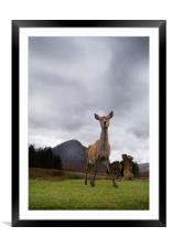 Deer at Glencoe, Framed Mounted Print