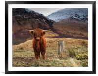 Baby Highland Cow, Framed Mounted Print
