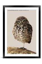 Little Owl (Athene Noctua), Framed Mounted Print