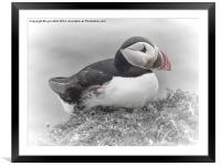 Puffin, Framed Mounted Print