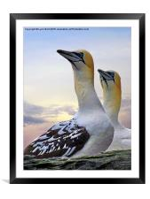 Two Gannets, Framed Mounted Print