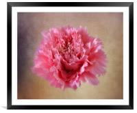 Pink Carnation, Framed Mounted Print