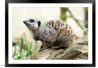 Meerkat Moments, Framed Mounted Print