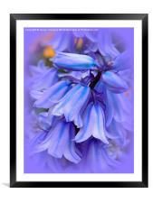 Bluebells from the Garden, Framed Mounted Print