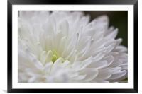 White Dahlia Flower, Framed Mounted Print